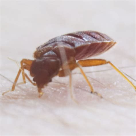 exterminating bed bugs identifying bed bugs select exterminating
