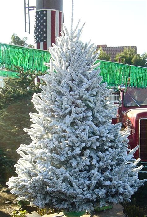 deerbrooke farm photo gallery premium christmas tree lot