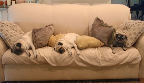 pug on couch the pug blog owned by pugs com