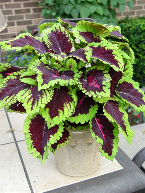 kong rose coleus great match to purple lady iresine for shade trailer in containers great