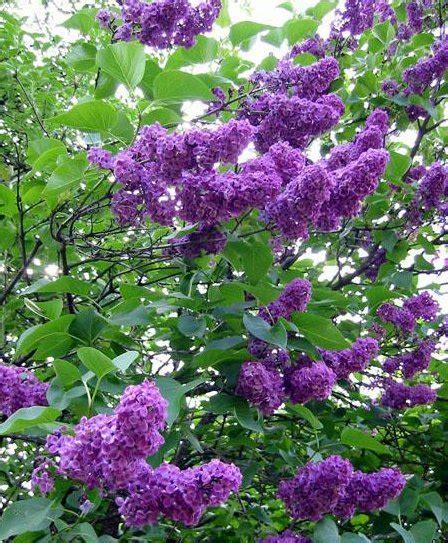 pianta lilla in vaso lemiepiante enciclopedia dei fiori e delle piante