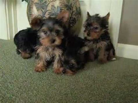 how to litter a yorkie puppy hqdefault jpg