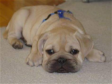 shar pei pug puppies for sale pug puppies for sale breeders and breed information html autos weblog