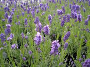 choosing lavender for making dried flower bunches at home