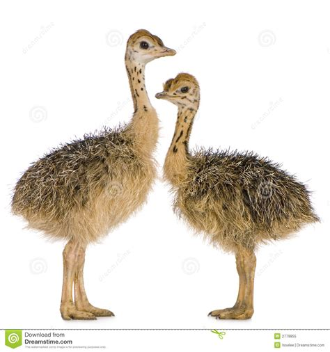 ostrich chick royalty free stock photo image 2779855