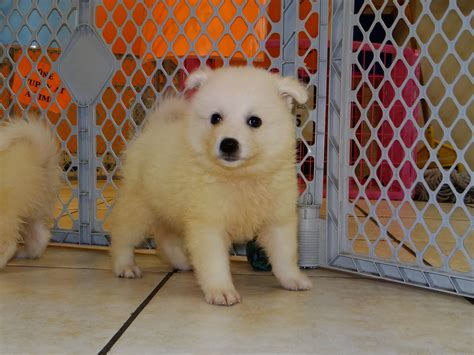 free puppies in columbus ga american eskimo puppies dogs for sale in columbus macon ga athens