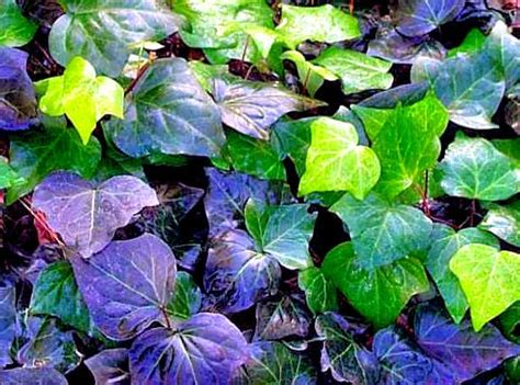 trailing hedera helix english ivy cutting plant garden