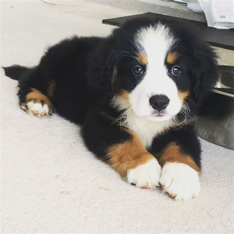 has puppies 8 weeks bernese mountain puppy and already has a mustache justviral net