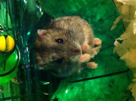 how many times should i feed my how many times a day should i feed my hamster wiring diagrams wiring diagram schemes