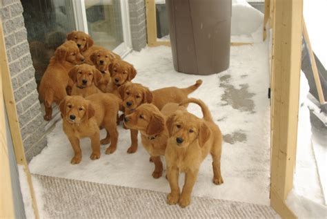 golden retriever breeders in golden retriever history