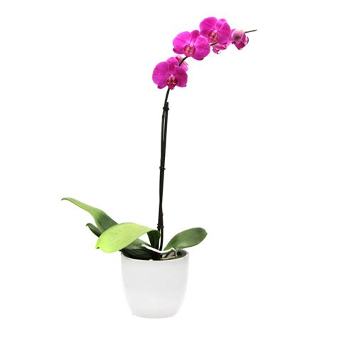 pink orchid phalaenopsis  ceramic white pot living gift