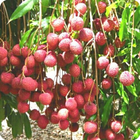 bibit pohon buah leci perkebunan di carousell
