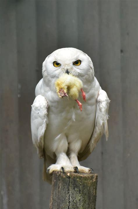 white owl wallpaper  images