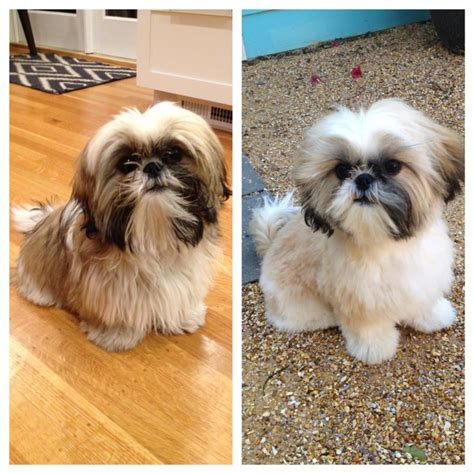 shih tzu after grooming shih tzu before after yelp