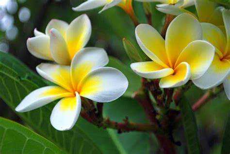 Click And Grow Garden by How To Grow The Frangipani Tree Plumeria Rubra Var