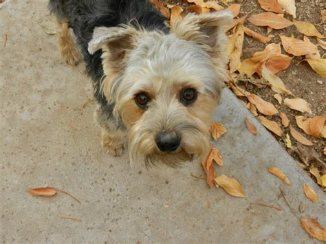 yorkie limping jojo yorkie mix m a i n animals in need rescue in arizona