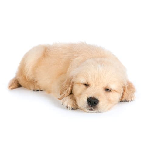 puppy panting in sleep golden retriever puppies sleeping