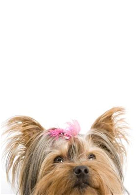 yorkie growth stages the growth stages of a yorkie pets