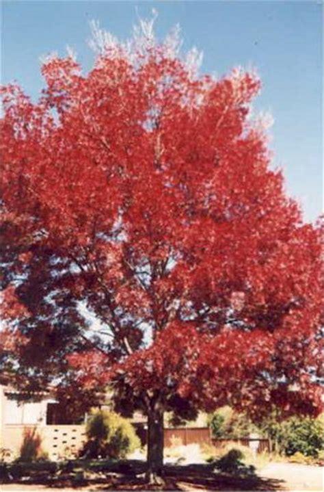 claret ash tree   plants garden supplies