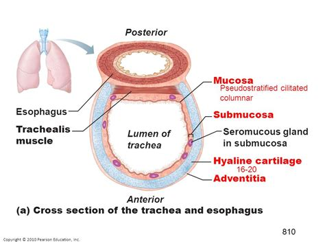 cross section of trachea the respiratory system is an open tract other 3 1
