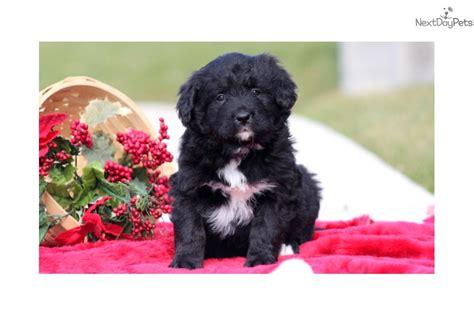 mini bernese mountain puppies for sale heaven mini bernedoodle bernese mountain puppy for sale near lancaster