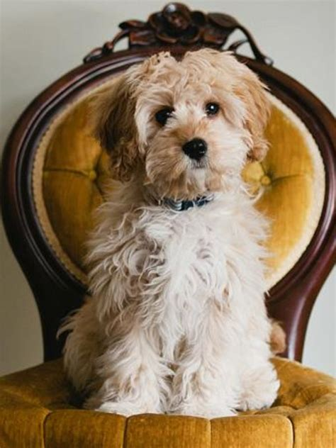 cavapoo adults dogs