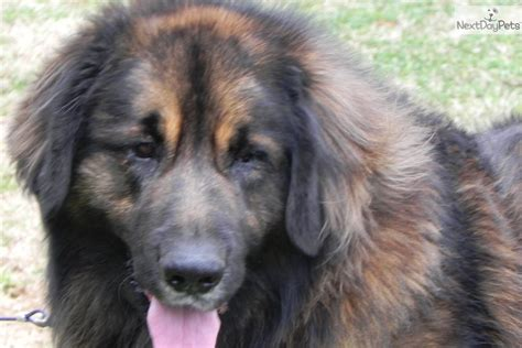 leonberger puppy price leonberger puppy for sale near carolina 36f25ae1 fb51