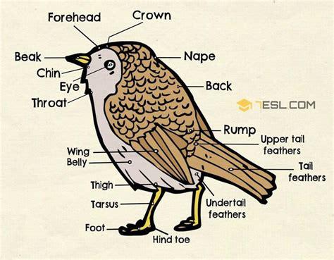 parts   bird  english bird anatomy esl