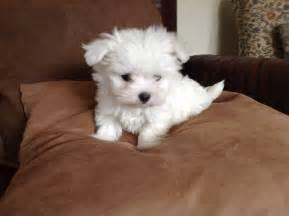 Maltese Puppies Tiny Maltese Puppies Goole East Of