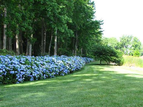 siepe da giardino arbusti da siepe siepi come scegliere gli arbusti per