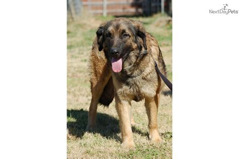 leonberger puppies price leonberger puppy for sale near joplin missouri d8484440 5061