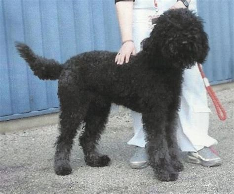 picture of poodle with silky hair texture a barbet is a barbet no a barbet is a barbet is a barbet