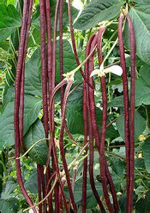 Benih Kacang Panjang Merah jual biji brnih bibit kacang panjang merah qu