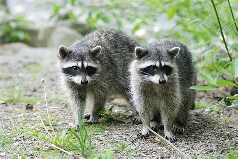 what to do if a raccoon is in your backyard what do raccoons eat raccoons diet