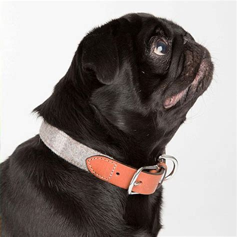 best collar for pugs best collars for pugs pug collars