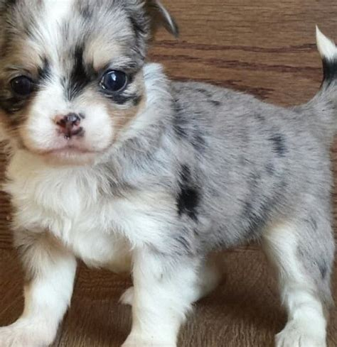 how many puppies do chihuahuas the time haired applehead chihuahua puppies for sale zoe fans baby animals