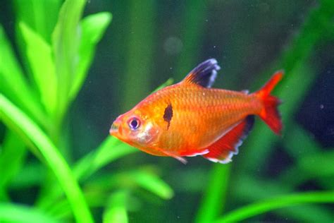 serpae tetra fishes world hd images free photos
