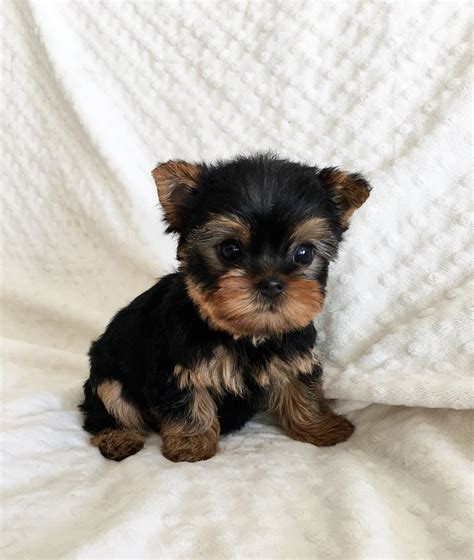 teacup yorkie sale teacup yorkie for sale california iheartteacups