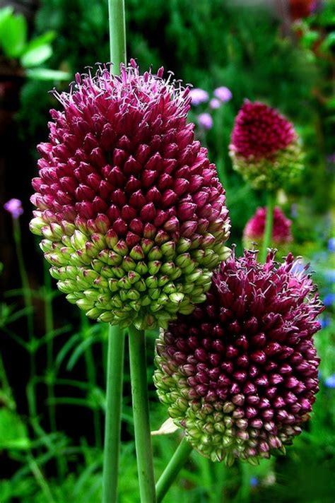 allium sphaerocephalon quot drumstick quot garden enhanced