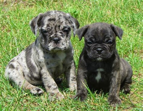 boston terrier pug mix puppies for sale brindle bugg puppies photo breeds picture