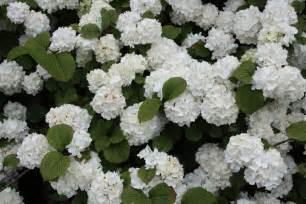 Chesapeake Flowers - viburnum plicatum f plicatum popcorn viburnum com a
