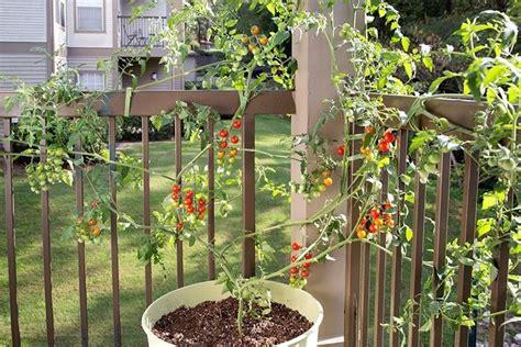 pomodori in vaso pomodori sul terrazzo orto in balcone coltivare