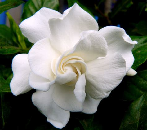 gardenia flower delivery 28 images gardenia flower gardenia veitchii florist s gardenia 4