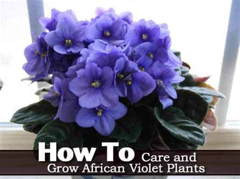 african violet care   grow african violet plants guide