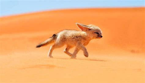 imagenes de animales del desierto galer 237 a de im 225 genes los animales del desierto m 225 s raros