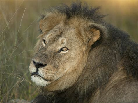 the lion and the cecil the lion famed lion known as cecil hunted and killed in africa pictures cbs news