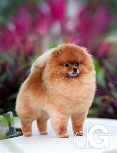 colin the pomeranian crufts pomeranian great pics winter pomeranian haircut and look at