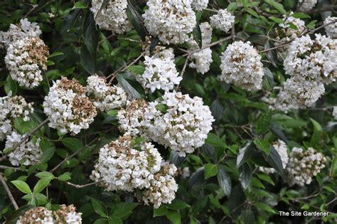 Full Sun Flowering Shrub - viburnum utile eskimo the site gardener
