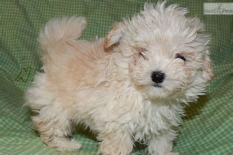 maltipoo puppies for sale in indiana malti poo maltipoo puppy for sale near south bend michiana indiana a557fef7 31e1