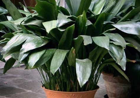 Iron Plant 10 Indoor Plants Your Apartment Won T Kill Streeteasy